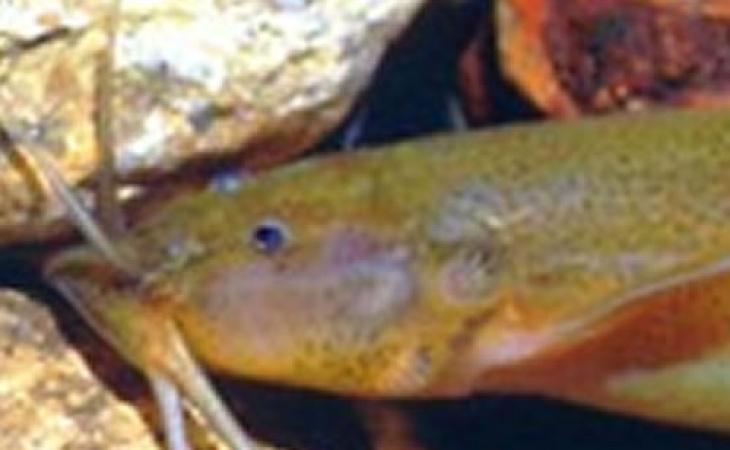 Encuentran nueva especie de pez gato en el río Tetuán | El Nuevo ...