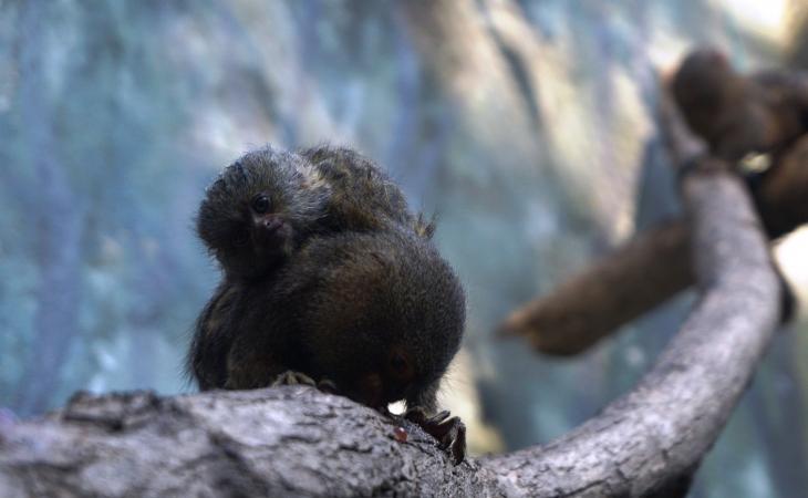 Nació un tití pigmeo en el Zoológico de Barranquilla
